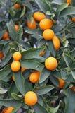 Mediterranean Orange hung on fruit trees Stock Images
