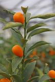 Mediterranean Orange hung on fruit trees Royalty Free Stock Photos