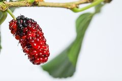 Juicy mulberry fruit Morus indica on a branch white background. Mulberry fruits are nutritious, juicy, sweet, sourish and known for its antioxidant values. It Royalty Free Stock Photo