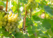 Juicy Muscat grapes in the vineyard Stock Photo