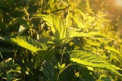 Juicy nettle στον ήλιο σε ένα λιβάδι Στοκ Φωτογραφίες