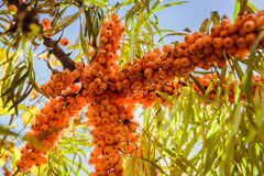 Juicy orange buckthorn berries on branches in sun Royalty Free Stock Photo