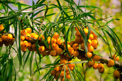 Juicy orange buckthorn berries on branches in sun Royalty Free Stock Image