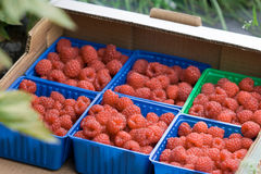 Juicy organic Norwegian raspberies in a coloful boxes. Royalty Free Stock Images