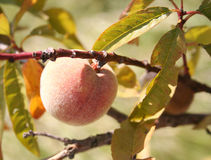 Juicy peach. Detail of a peach tree with close-up of the fruit stock images