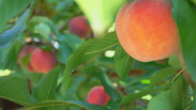 Juicy peach hanging on a tree branch stock footage