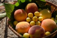 Juicy peaches and cherry plums lie in a wooden basket under rays of sunset. Juicy peaches and cherry plums lie in a wooden basket under the rays of sunset stock image
