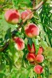 Juicy peaches Royalty Free Stock Photo