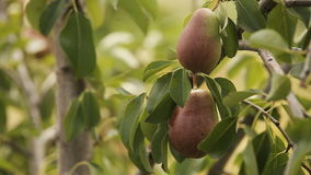 Juicy pear on a tree in the sunshine stock video
