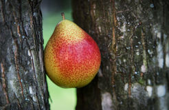 Juicy pear between trees Stock Images