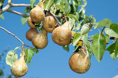 Juicy pears on branch tree Stock Image
