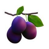 Juicy plum fruit closeup Stock Image