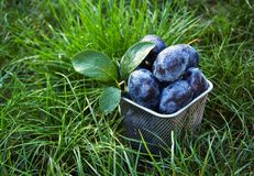 Juicy plums in the green grass. Autumn harvest. Harvesting. Stock Photography