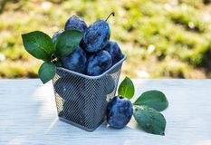 Juicy plums in an iron basket. Harvesting. Autumn harvest. Royalty Free Stock Images