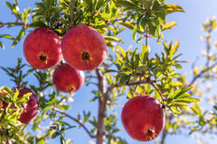 Juicy pomegranate on the tree Stock Images