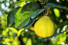 Juicy quince hanging on a branch. Fruit concept Stock Photos