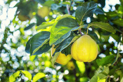 Juicy quince hanging on a branch. Fruit concept Royalty Free Stock Photo