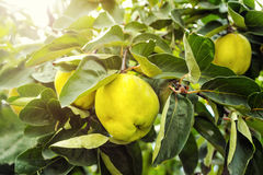 Juicy quince hanging on a branch,hurvest concept,fruit concept,y Royalty Free Stock Image
