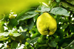 Juicy quince hanging on a branch,hurvest concept,fruit concept,y Stock Photos