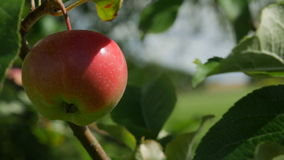 Juicy red apple on a tree branch. Juicy red apple swinging on a tree branch, windy day stock video footage