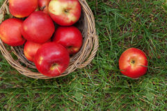 green and red apples in basket. juicy red apples in a basket and scattered on green grass, top v royalty free i