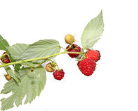 Juicy red berries sweet raspberry on branch isolated Royalty Free Stock Photography