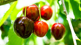 Juicy red cherries at a tree Royalty Free Stock Image