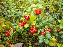 Juicy red cowberries in the Russian forest in the summer. On the moss royalty free stock photo