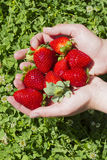 Juicy red strawberries on hand. Harvest concept Royalty Free Stock Photo