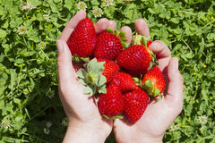Juicy red strawberries on hand. Harvest concept. Group of juicy strawberry background lying on hands Royalty Free Stock Photos