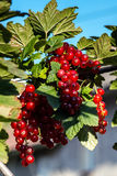 Juicy redcurrant on the sun Royalty Free Stock Images