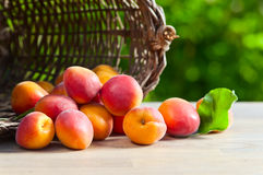 Juicy ripe apricots Stock Photography