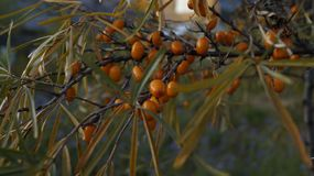 Juicy ripe berries of sea-buckthorn berries glisten in the sun, on the tree leaves still hanging. Sea-buckthorn, tree, berries, leaves, branches, fruits, orange royalty free stock photos