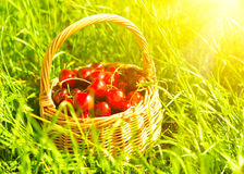 Juicy ripe cherries in a basket on the green grass Stock Photo