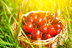 Juicy ripe cherries in a basket on the green grass Stock Photography