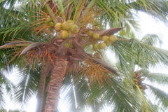Juicy ripe coconut ready for picking. Juicy coconut ready for harvest in  seaside and coastal regions of India Royalty Free Stock Photos