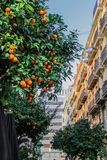 Juicy ripe fruits of oranges on the tree.  royalty free stock photography