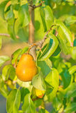 A juicy ripe golden pear Stock Photography