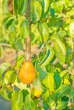 A juicy ripe golden pear Stock Photos