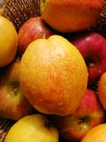 Golden and Red Fresh Pear. A juicy ripe golden and red pear among some apples and pears royalty free stock photography
