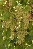 Juicy ripe grapes hanging on the branches. In the vineyard Royalty Free Stock Photography