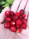 Juicy ripe large red strawberries on the palm of your hand. royalty free stock photo