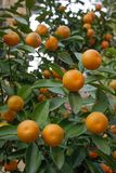 Juicy and ripe orange tangerines on a tree branch stock photography