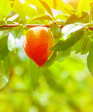 Juicy ripe peach. Hanging on the tree in orchard, fresh tasty fruit, fruits industry, summer season, growing nature, sunny day, agriculture and farm concept Stock Image