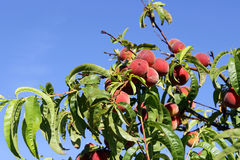 Juicy ripe peaches on a tree Stock Photography