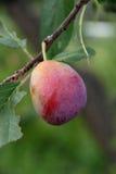 Juicy ripe plum garden Stock Photography