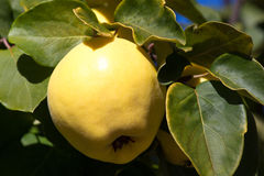 Juicy and ripe quince hanging on a branch organicity nature naturalness. Juicy raw ripe quince fruit on tree, organicity. Nature, gardening Stock Photo