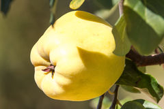Juicy and ripe quince hanging on a branch organicity nature naturalness. Juicy raw ripe quince fruit on tree, organicity. Nature, gardening Stock Images