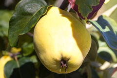 Juicy and ripe quince hanging on a branch organicity nature naturalness Royalty Free Stock Photo