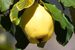Juicy and ripe quince hanging on a branch organicity nature naturalness. Juicy raw ripe quince fruit on tree, organicity. Nature, gardening Royalty Free Stock Photography